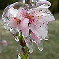 Peach Blossom In Ice by Sheri Lauren