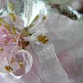 Peach Blossom In Ice Three by Sheri Lauren