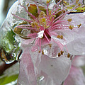 Peach Blossom In Ice Two by Sheri Lauren