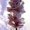 Peach Blossom by Scott Hervieux
