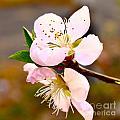 Peach Blossoms 1 by Harmony Hancock