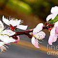 Peach Blossoms 2 by Harmony Hancock