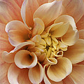 Peach Dahlia by Paul W Faust -  Impressions of Light