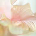 Peach Delicacy. Hibiscus Macro by Jenny Rainbow