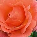 Peach Faced Rose by Maria Urso