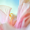 Peach Hibiscus. Macro by Jenny Rainbow