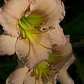 Peach Parfait Daylilies by Kathy Clark