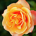 Peach Rose by Brian Jannsen