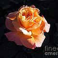 Peach Rose Palm Desert by Jay Milo