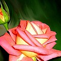 Peach Rose Watercolor by Will Borden
