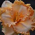 Peach Ruffled Lily by Maria Urso