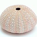 Peach Sea Urchin White by Jennie Marie Schell