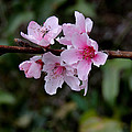 Peach Tree Blooms Miskitos Swoon by Kim Pate