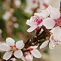 Peach Tree Blossoms by Mel Hensley