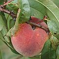 Peach For Harvest   # by Rob Luzier