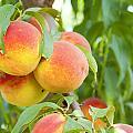 Peaches  by Alexey Stiop