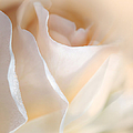 Peaches And Cream Rose Flower by Jennie Marie Schell