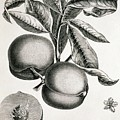 Peaches by George Bernard/science Photo Library