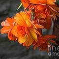 Peachy Begonias by Cheryl Baxter