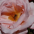 Peachy Petals And Bee by Christiane Schulze Art And Photography