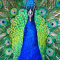 Peacock 1 by Steve Herndon
