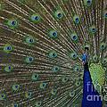 Peacock 17 by Ben Yassa