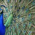 Peacock 21 by Ben Yassa