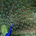 Peacock 8 by Ben Yassa