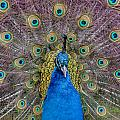 Peacock And Proud Plumage by Greg Nyquist
