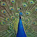 Peacock Blue by Michaela Perryman