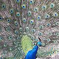 Peacock Bow by Caryl J Bohn