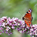 Peacock Butterfly  Inachis Io  On Buddleia by Liz Leyden