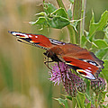 Peacock Butterfly On Thistle Square by Gill Billington