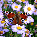 Peacock Butterfly Perched On The Daisies by Scott Lyons