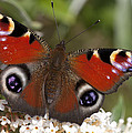 Peacock Butterfly by Richard Thomas