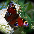 Peacock Butterfly by Tom Wade