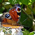 Peacock Butterfly by Tony Murtagh