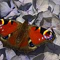Peacock Butterfly by TouTouke A Y