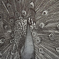 Peacock by Byron Moss