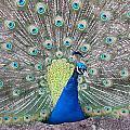 Peacock by Caryl J Bohn