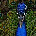 Peacock by Dawn Call