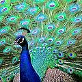 Peacock Delight by DUG Harpster