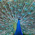Peacock Display by Dale Nelson