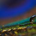 Peacock Drop by Lisa Knechtel