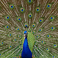 Peacock by Ernie Echols