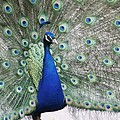 Peacock Fanning by Alice Gipson