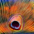 Peacock Feather by Joyce Baldassarre