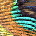 Peacock Feather by Ted Kinsman/science Photo Library