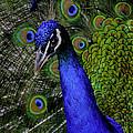 Peacock Head And Tail by LeeAnn McLaneGoetz McLaneGoetzStudioLLCcom