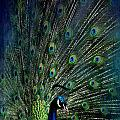 Peacock by Heike Hultsch